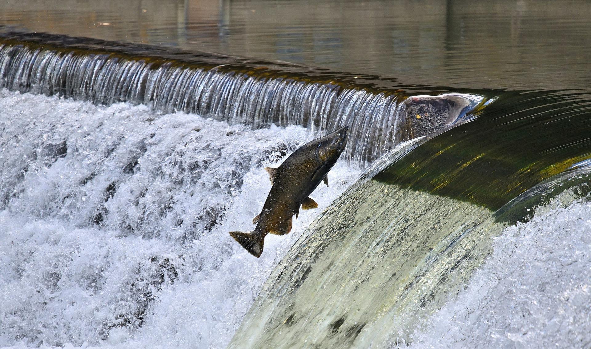 Döda fiskar flyter med strömmen